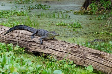 baby alligator on a log