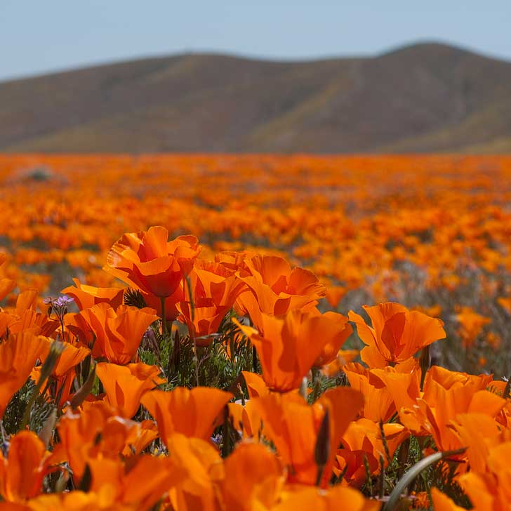 hollywood warm weather activities poppy fields
