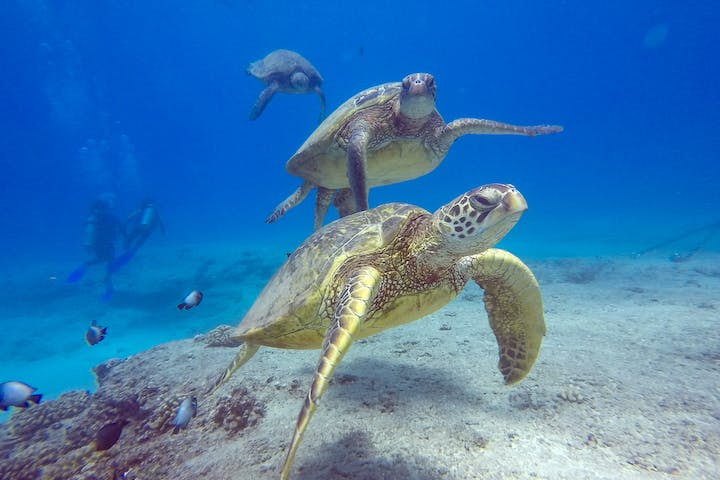 Sea Turtles underwater in Oahu, Hawaii