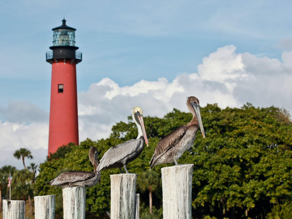 Florida Brown Pelicans Jupiter Lighthouse May 2013