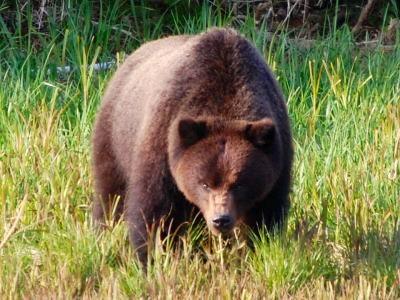 A brown bear roams Chichagof Island