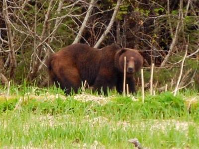 A brown bear explores the Alaskan wilderness