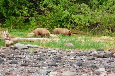 Two brown bears roam Chichagof Island