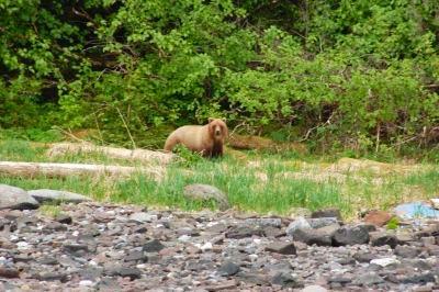 A brown bear roam Chichagof Island
