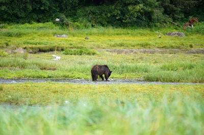 A bear hunts in an Alaskan field