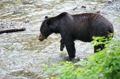 A bear hunts in the water