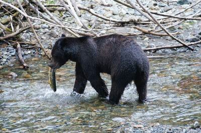 A bear in the water catches a fish