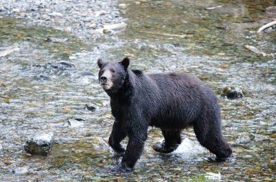 A bear exploring the Alaskan waters