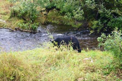 A bear exploring the Alaskan landscape