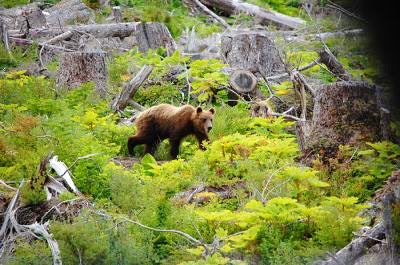 A brown bear exploring the Alaskan landscape
