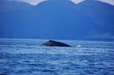 An Alaskan whale breach
