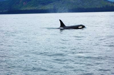 Orca swimming at the water's surface in Hoonah
