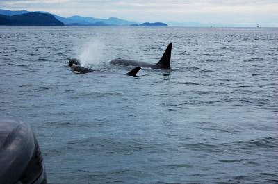 A pod of orcas at the water's surface