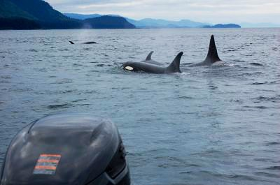 A pod of orcas swimming near the water's surface