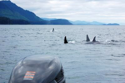 A pod of orca fins above the water
