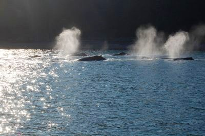 A pod of humpback whales breathing at the water's surface