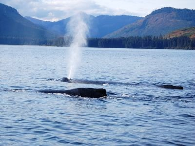 Humpback whales breach and breathe near Hoonah