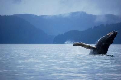 A humpback whale breach