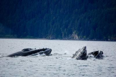 A pod of whales breaching near Hoonah