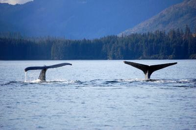 Two humpback whale tails above the water's surface