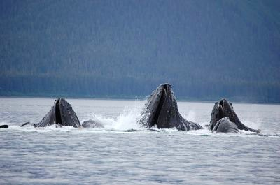 Humpback whales breaching in Hoonah Alaska