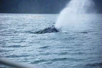 Humpback whale breathes through blowhole
