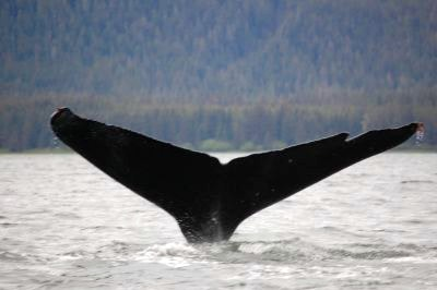 A humpback whale tail in Hoonah Alaska