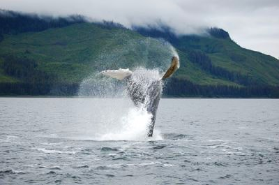 A humpback whale jumping in Hoonah Alaska