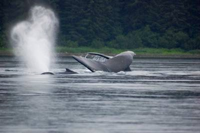 Humpback whales diving and breaching in Hoonah