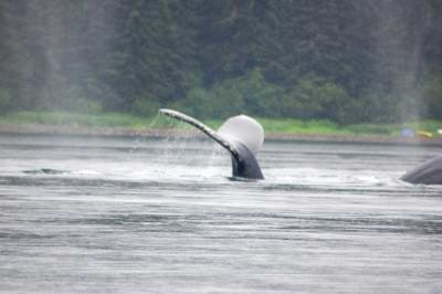 Humpback whale diving in Hoonah