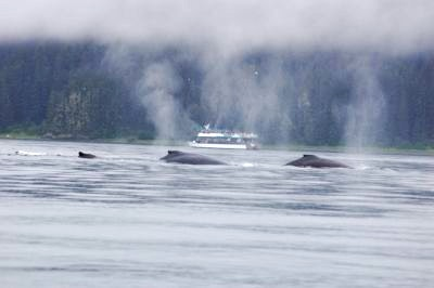 Humpback whales breaching in Alaska
