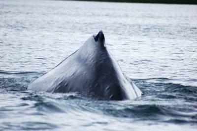 Humpback whale breach in Alaskan waters