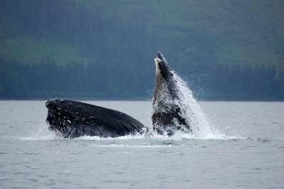 Humpback whale breach in Hoonah