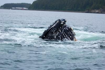 Humpback whale breaching in Hoonah Alaska