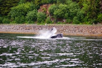 A humpback whale breaches near the shore in Hoonah