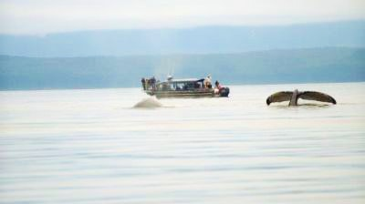 Two whales above the water's surface near a Hoonah Bound tour