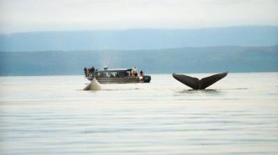 Two whales breach near Hoonah Bound