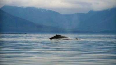 Humpback whale breaches near Hoonah