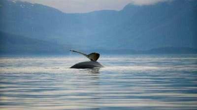 Alaskan humpback whale tail