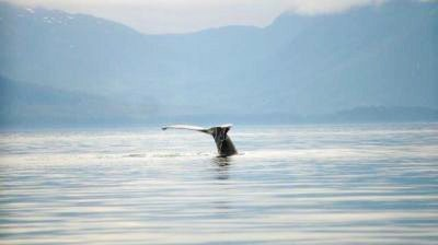 Humpback whale tail in Alaska
