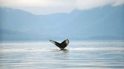 Humpback whale tail in Hoonah