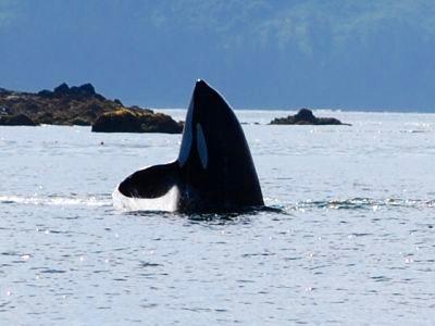An orca breaching in Hoonah