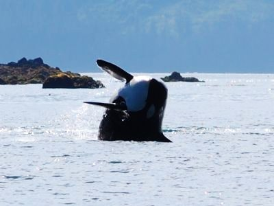 An orca jumps out of the water in Hoonah Alaska