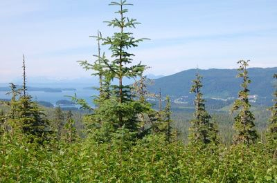 Spruce trees overlooking the waters in Alaska