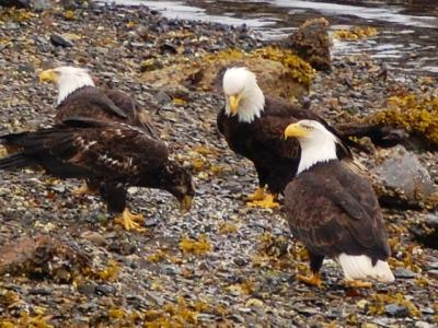 Bald Eagles on the shore in Hoonah