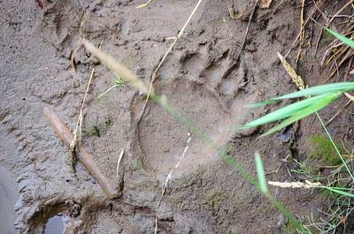 A clear bear print in the mud