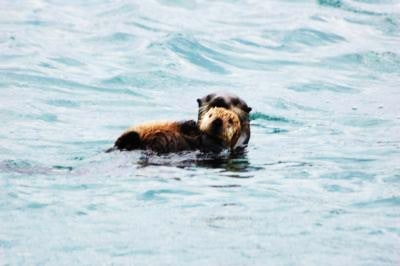 Two sea otters in the Alaskan waters
