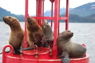 Sea lions play on a red buoy in Hoonah Alaska