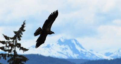 A bird soars over Alaska