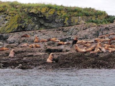 A group of sea lions in Chichagof Island